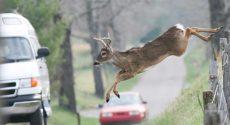 deer-road-cars